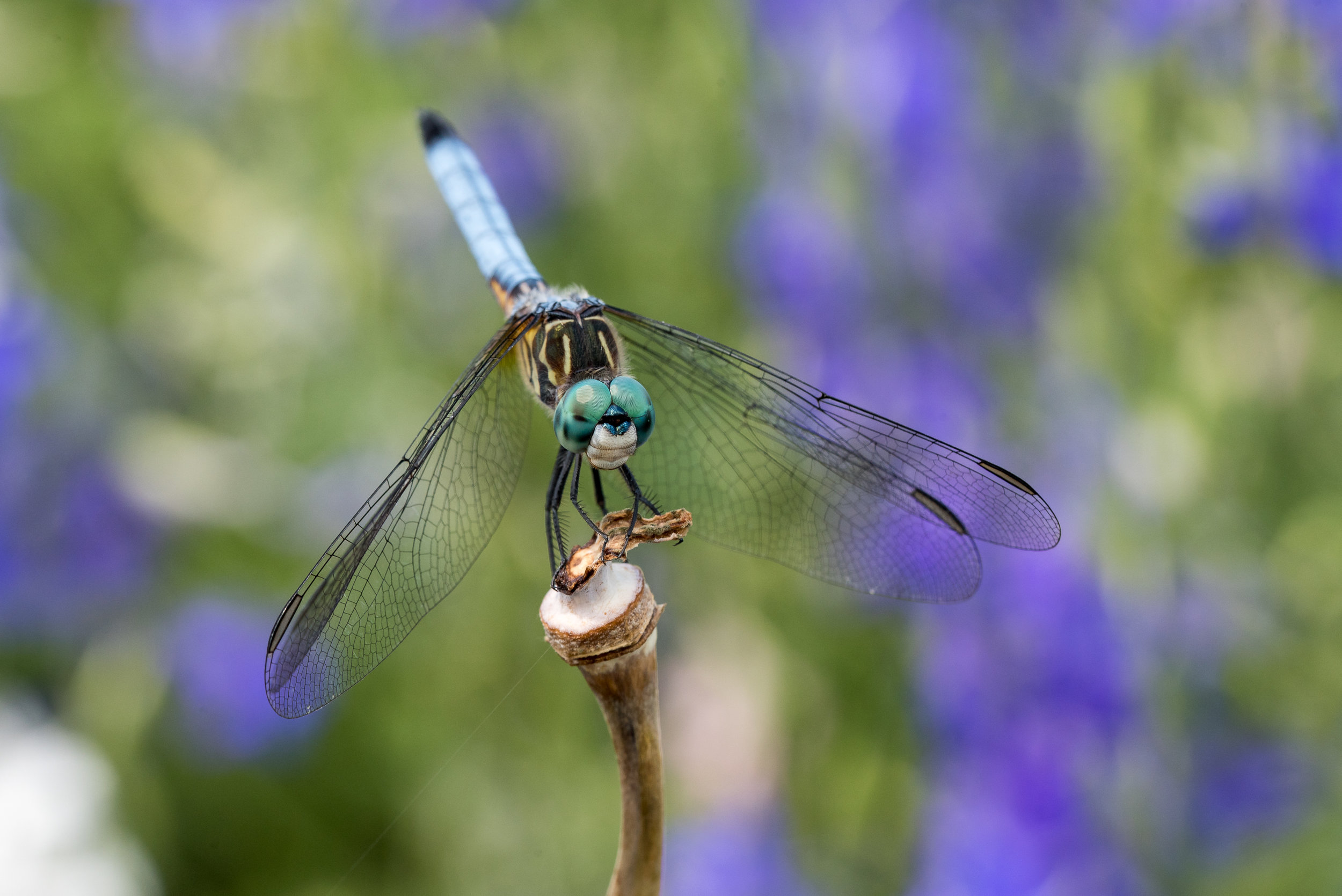 Blue Dasher Dragon Fly at Cox Arboretum