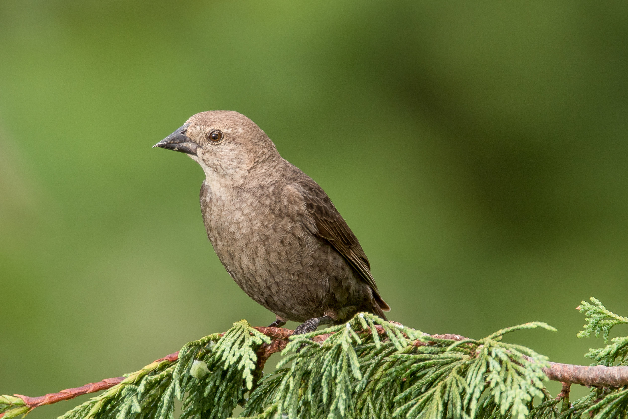 Brown-headed Cowbird (female)