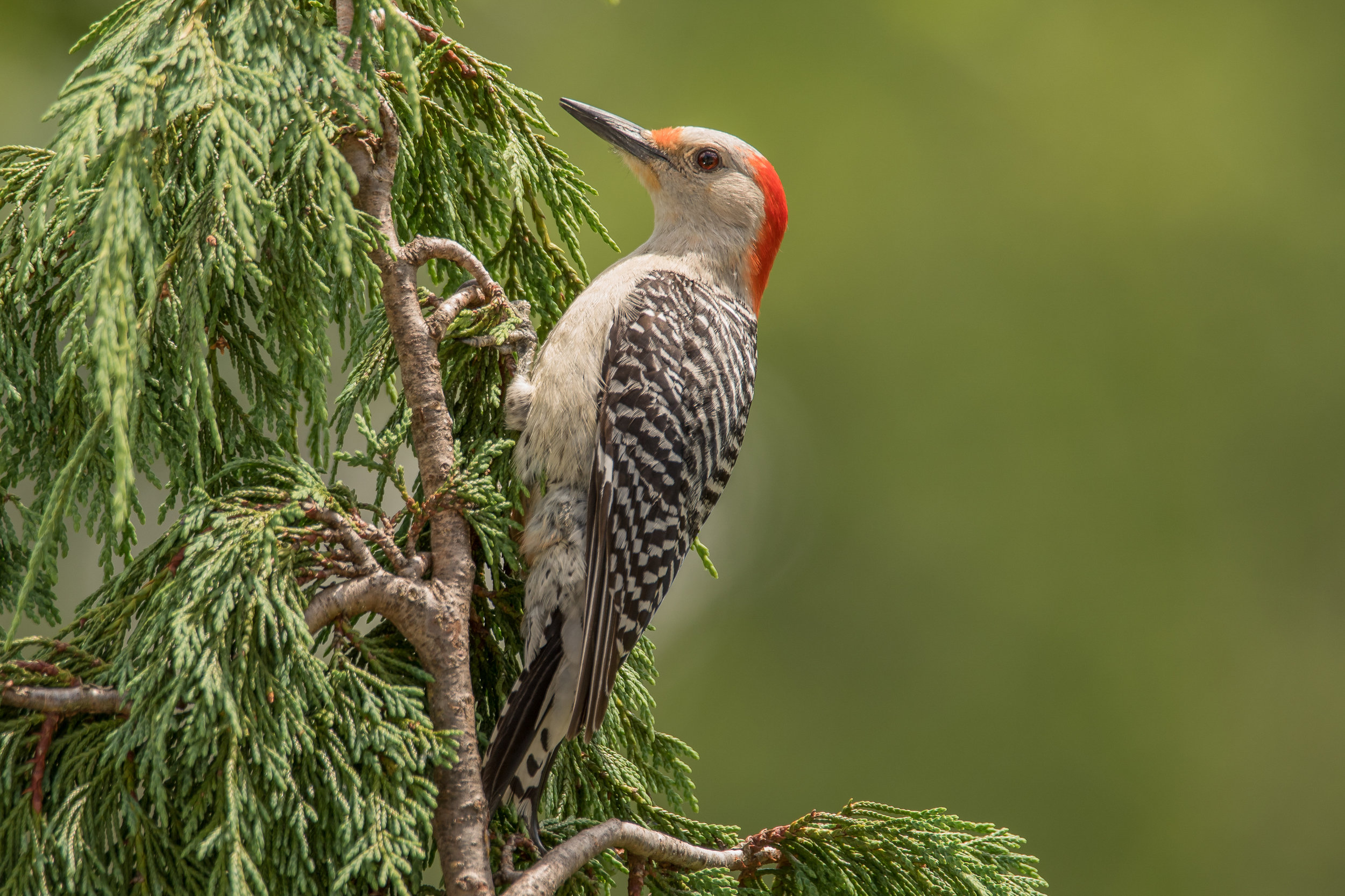 Red-breasted Woodpecker