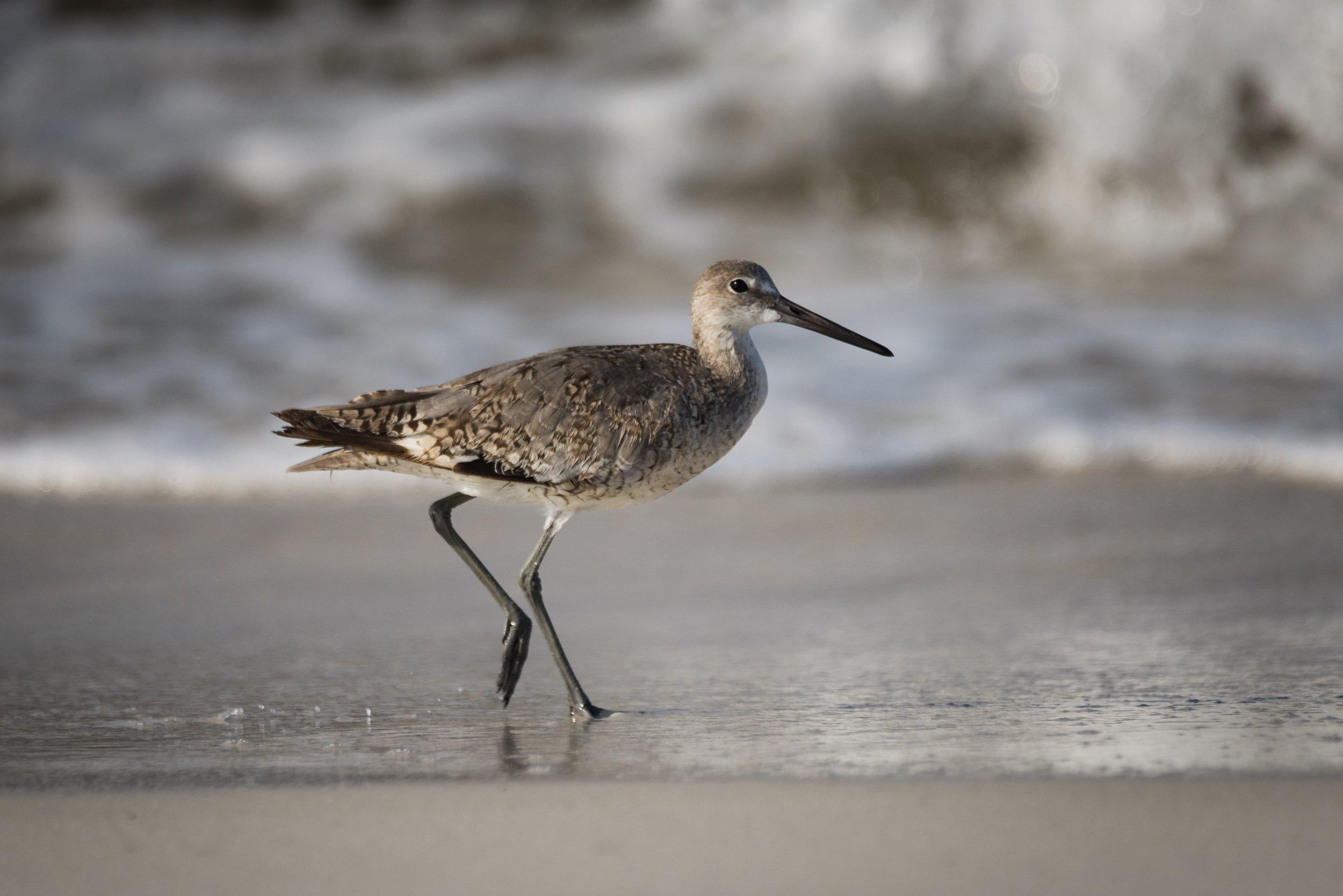Willet on Okaloosa Beach