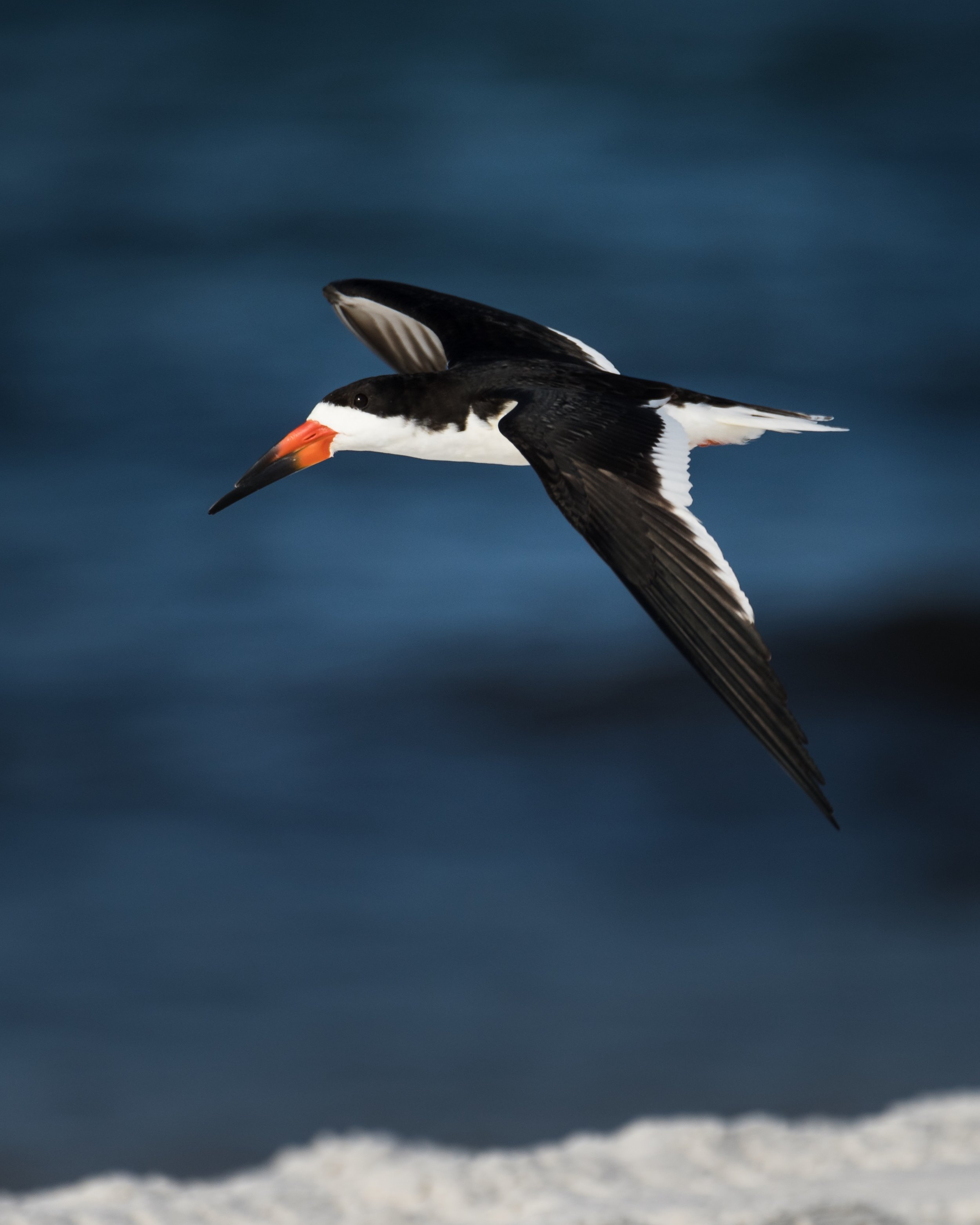 I found a small flock of eight Black Skimmers