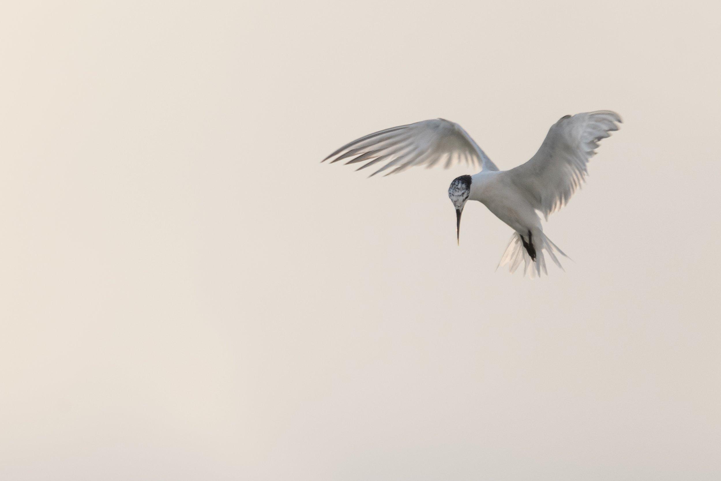 Sandwich Tern fishing