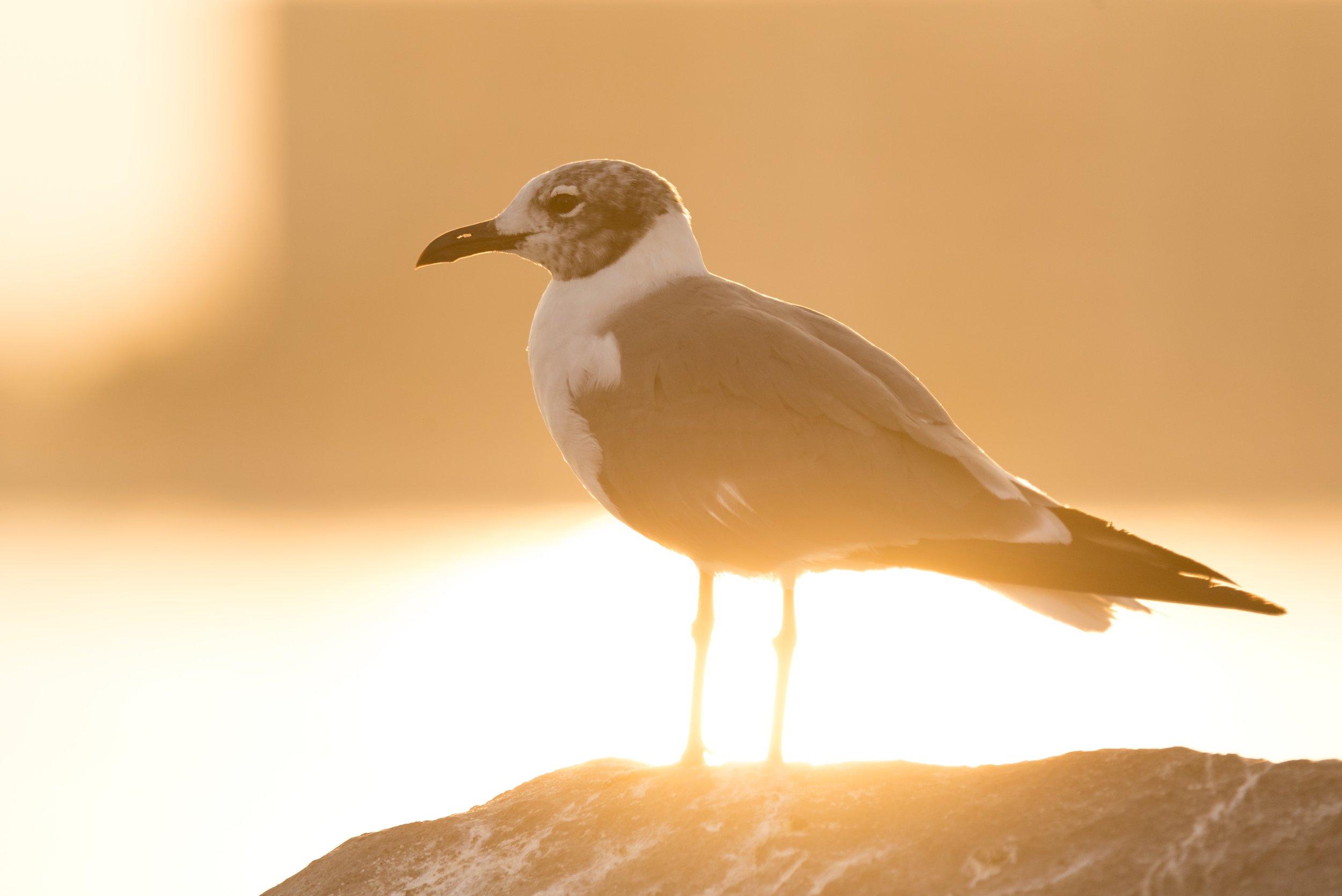 Laughing Gull at sunrise