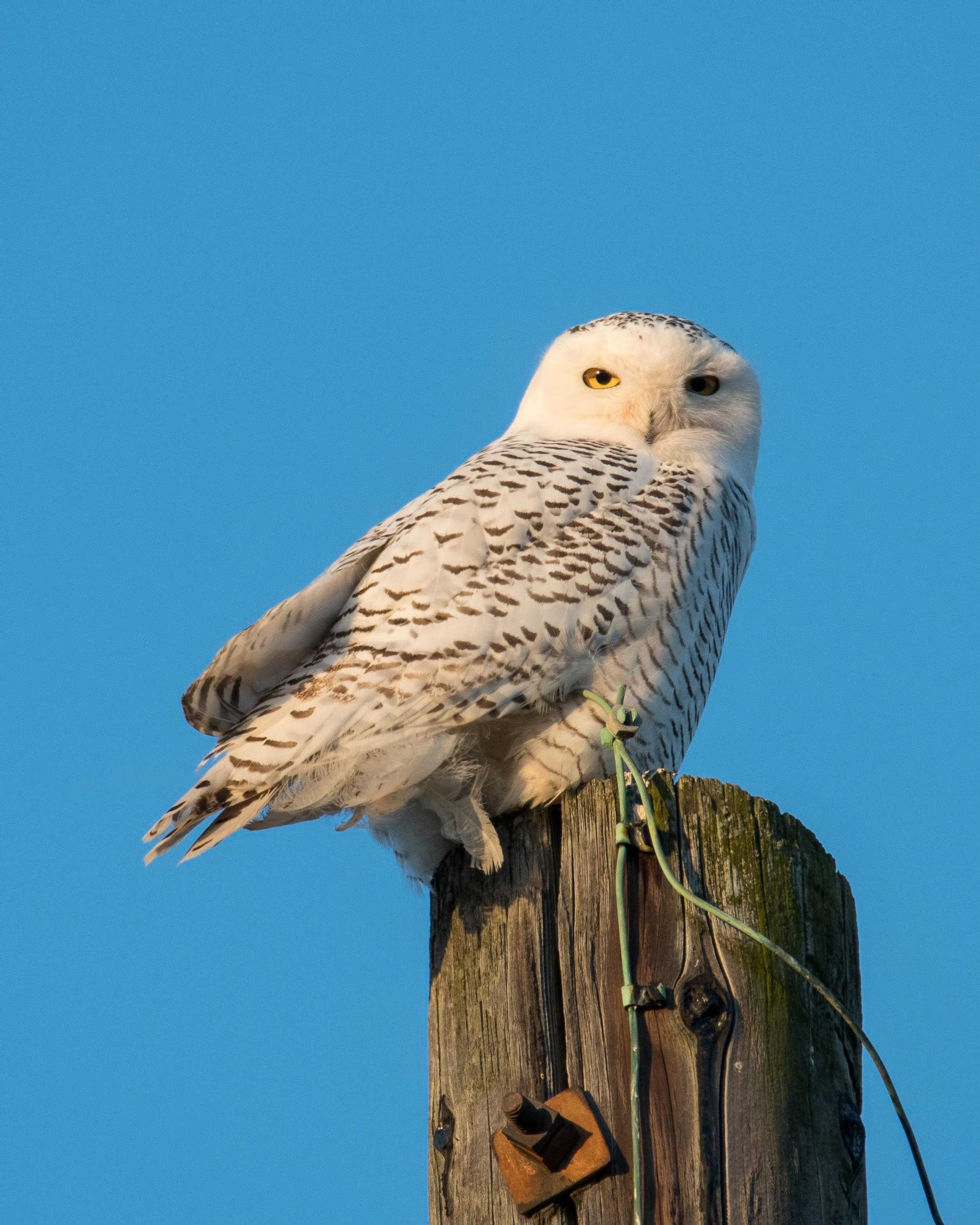Snowy Owl in Bellbrook Ohio