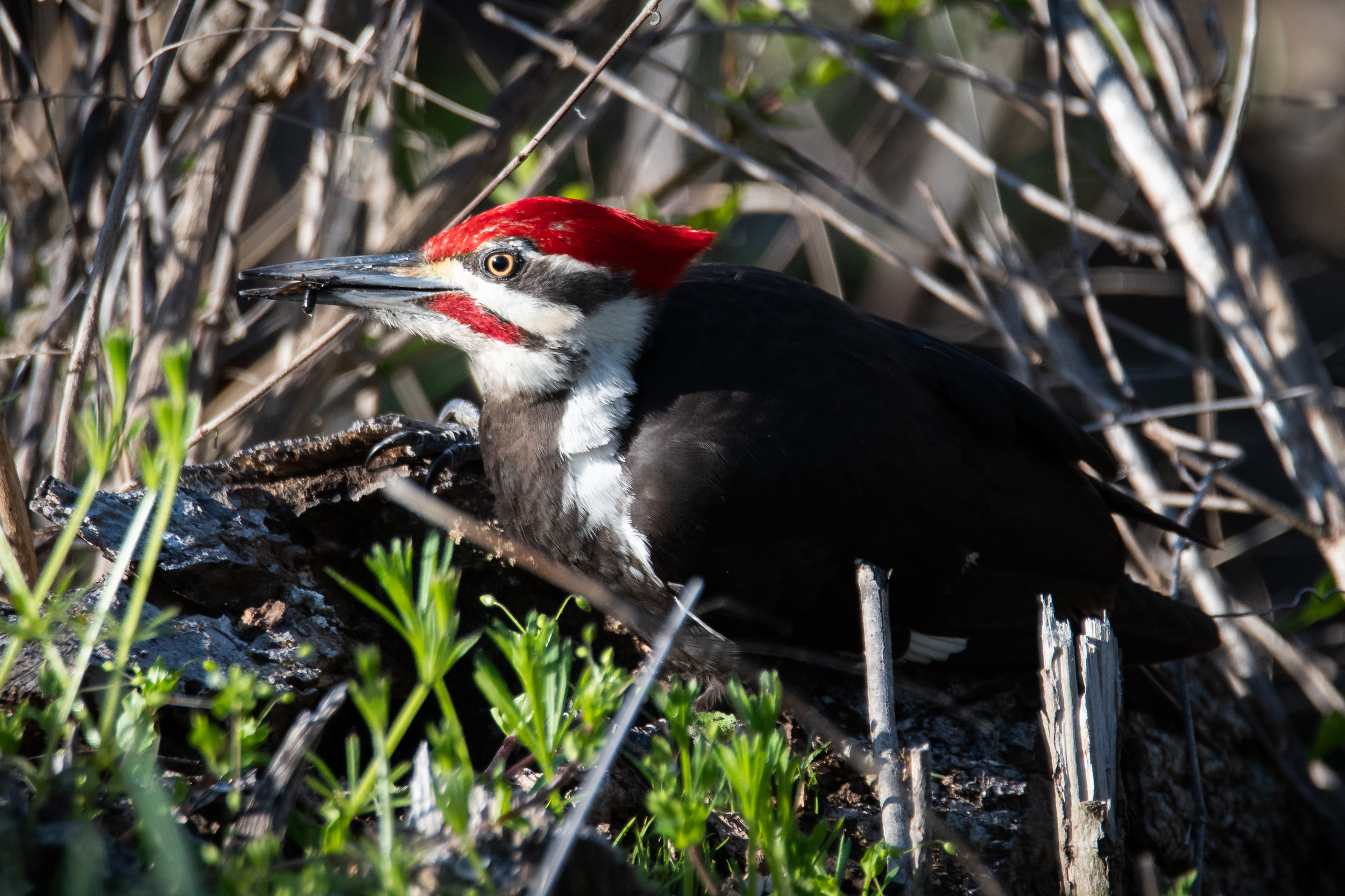 Pileated Woodpecker Finds Breakfast