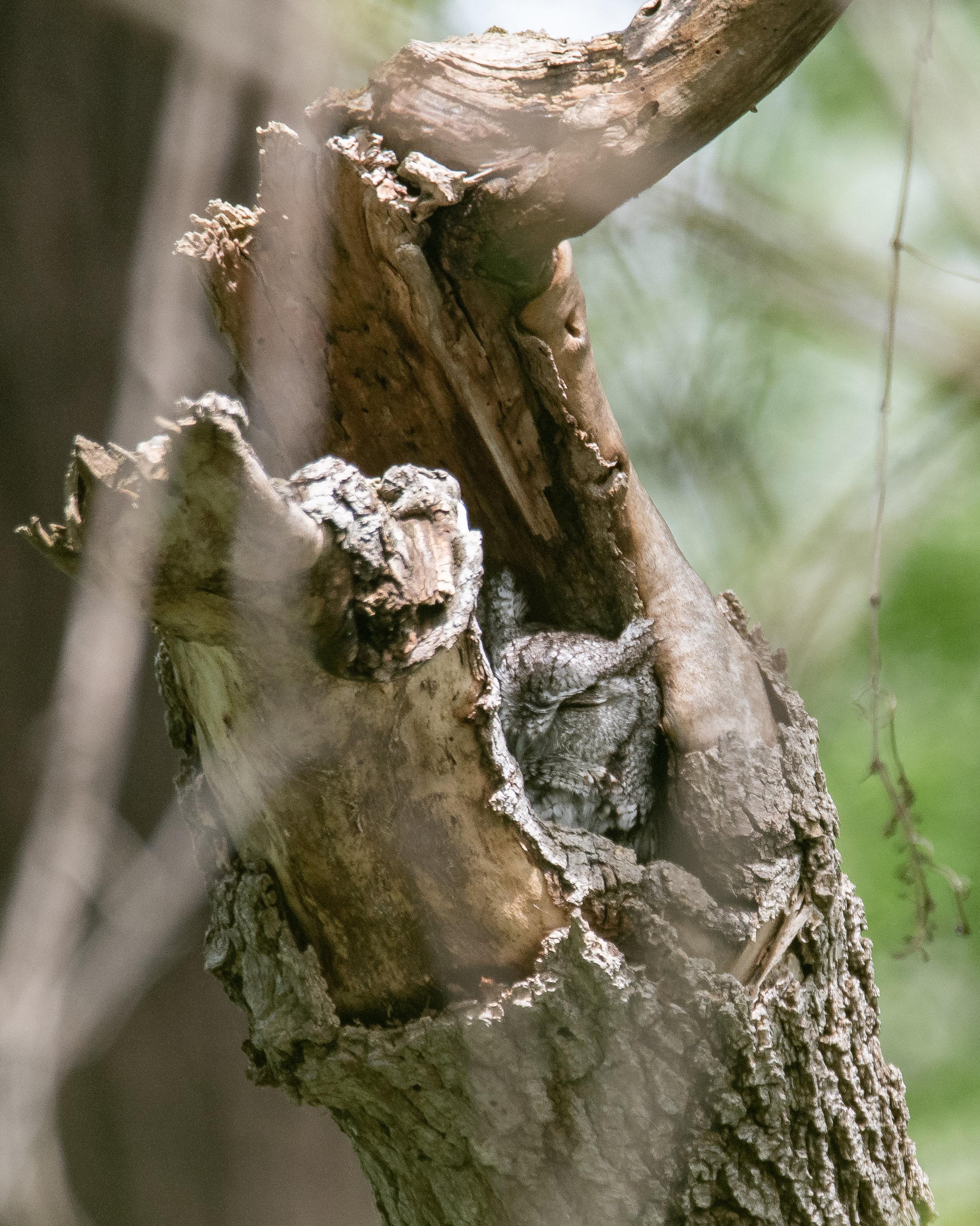 A Sleepy Screech Owl