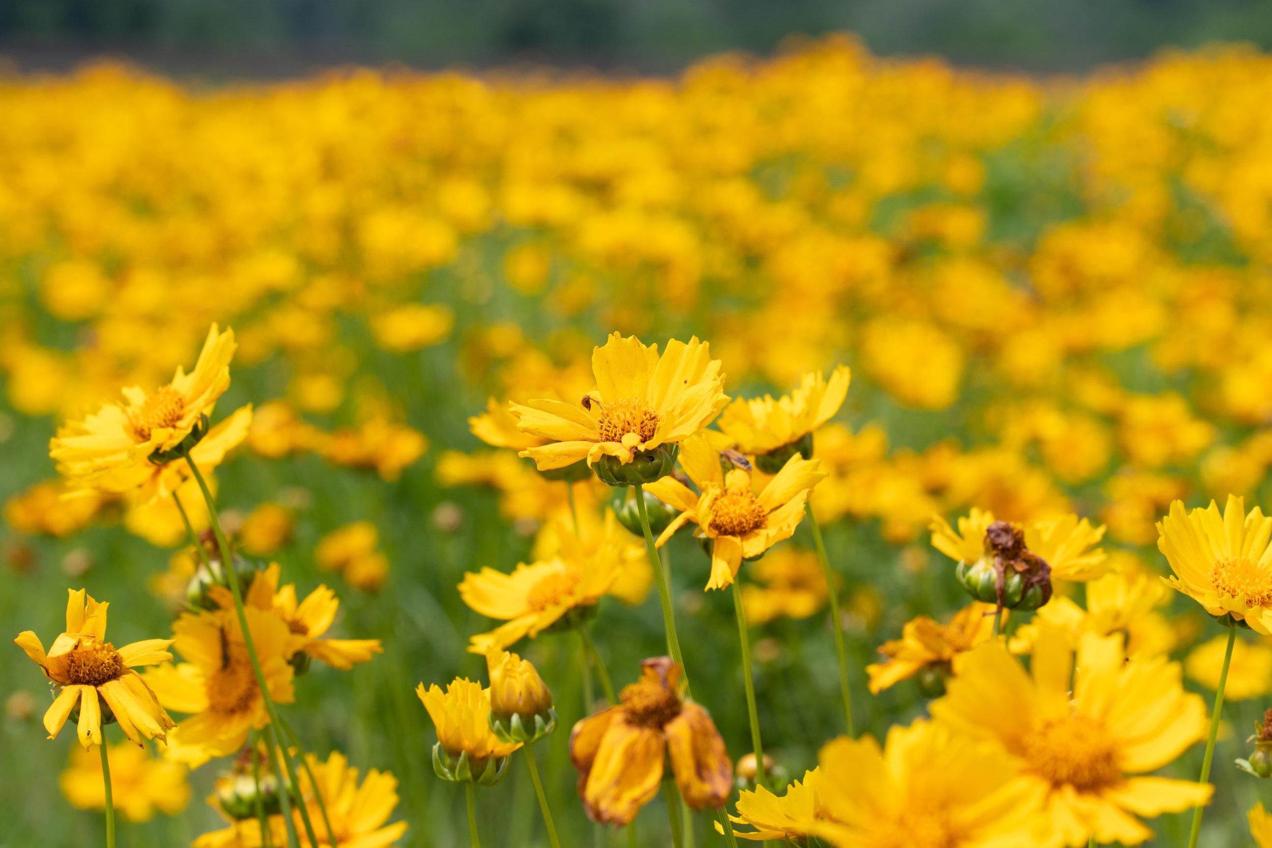 Endless Wildflowers (Lanceleaf Coreopsis)