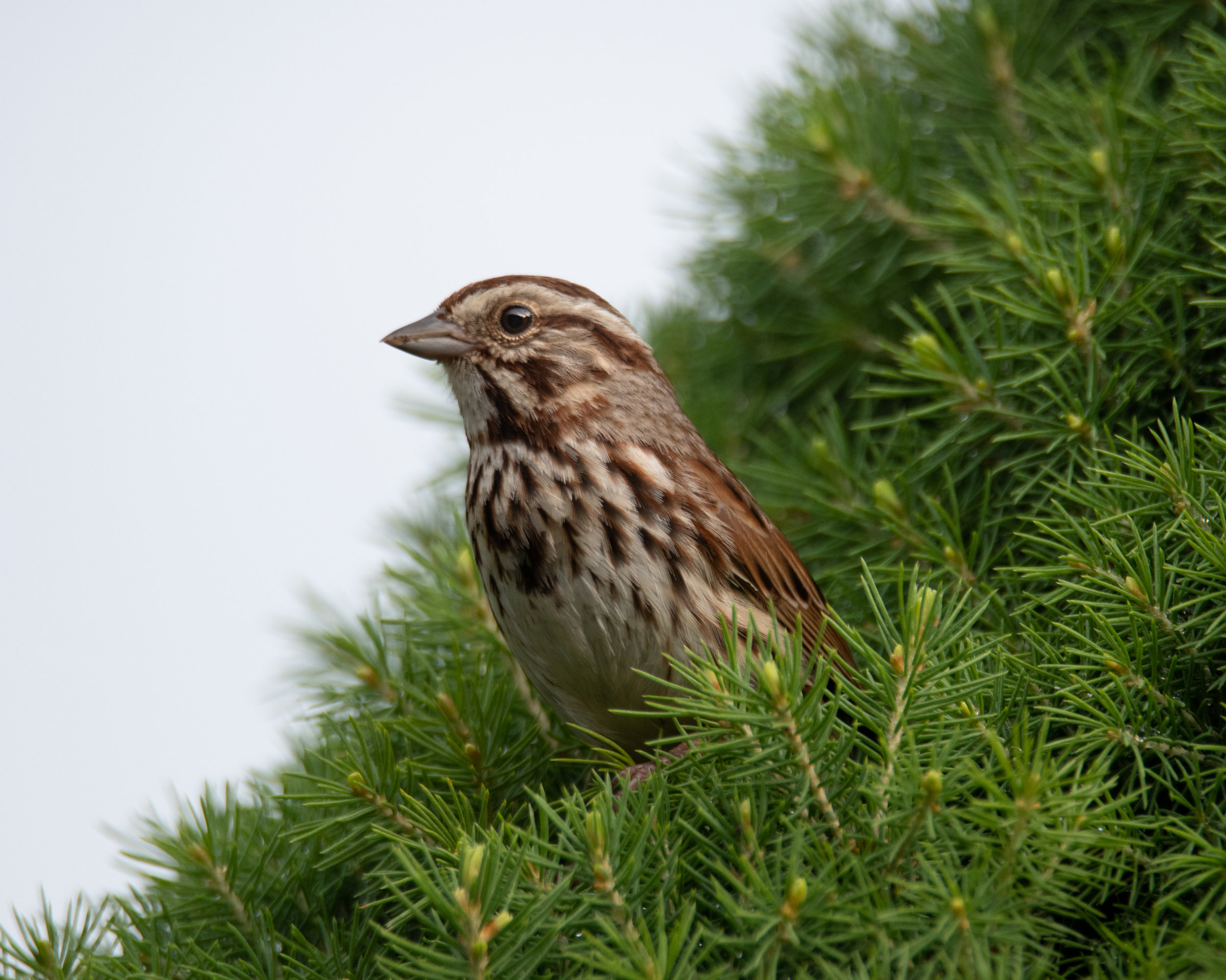 Song Sparrow with Wasp