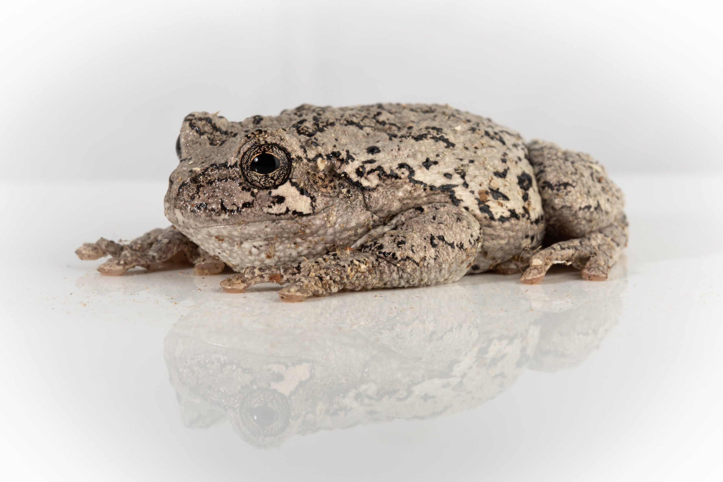 Eastern Gray Treefrog (Hyla versicolor)
