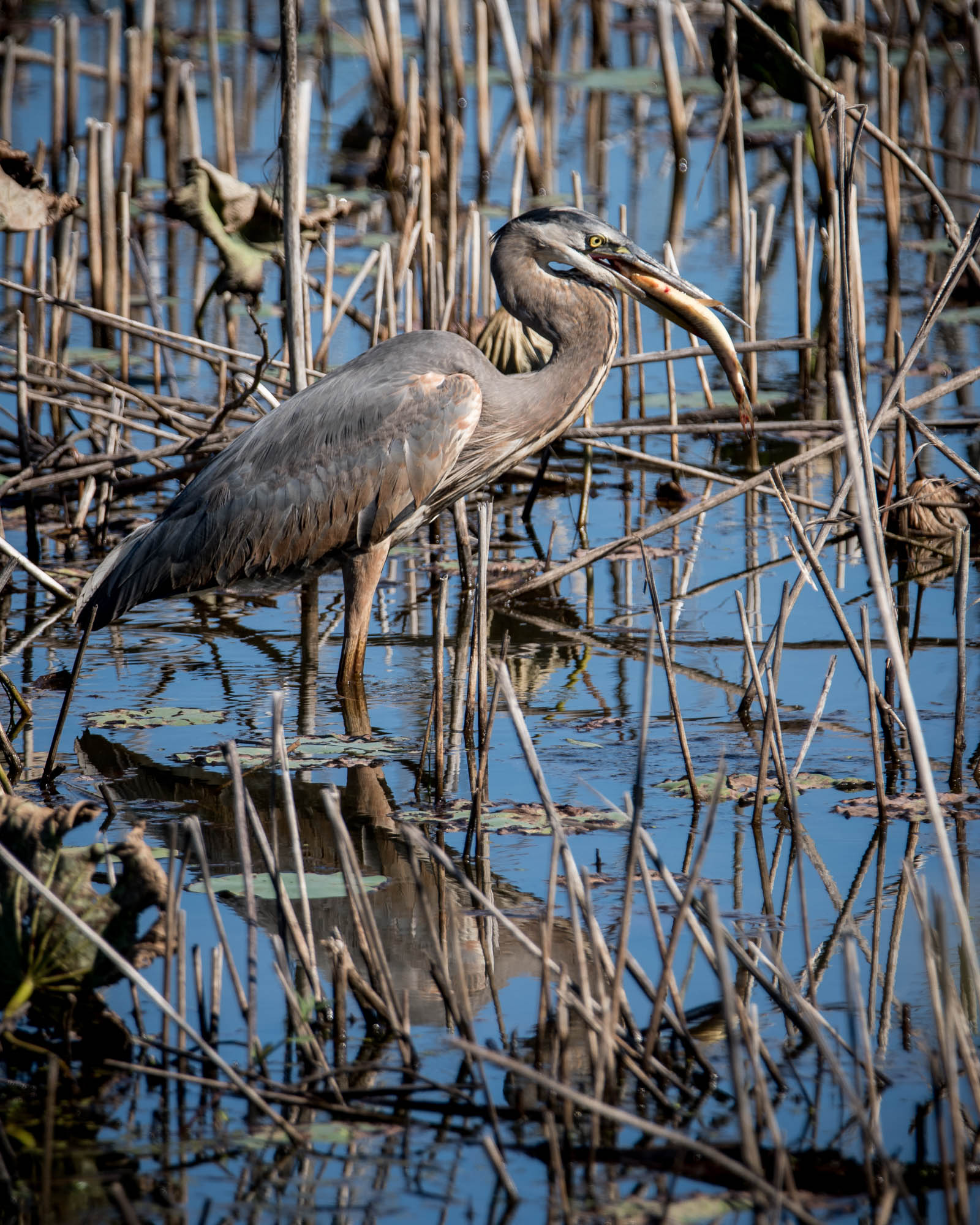 Great Blue Heron with Gar