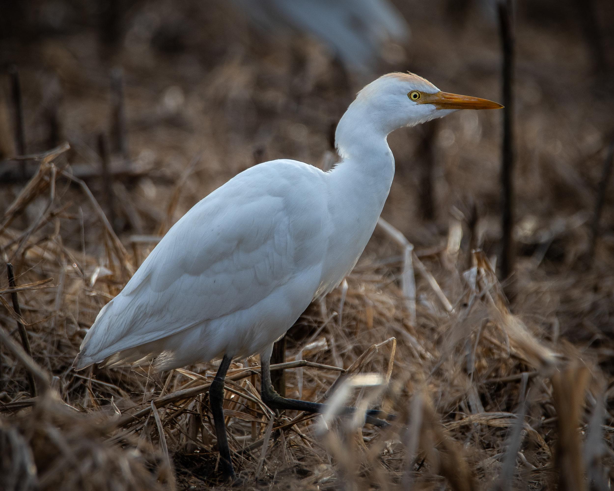 Cow Egret