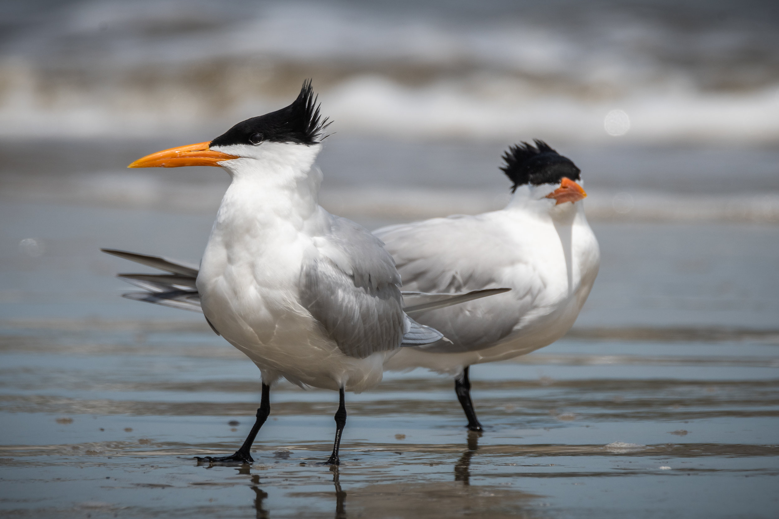 Royal Tern