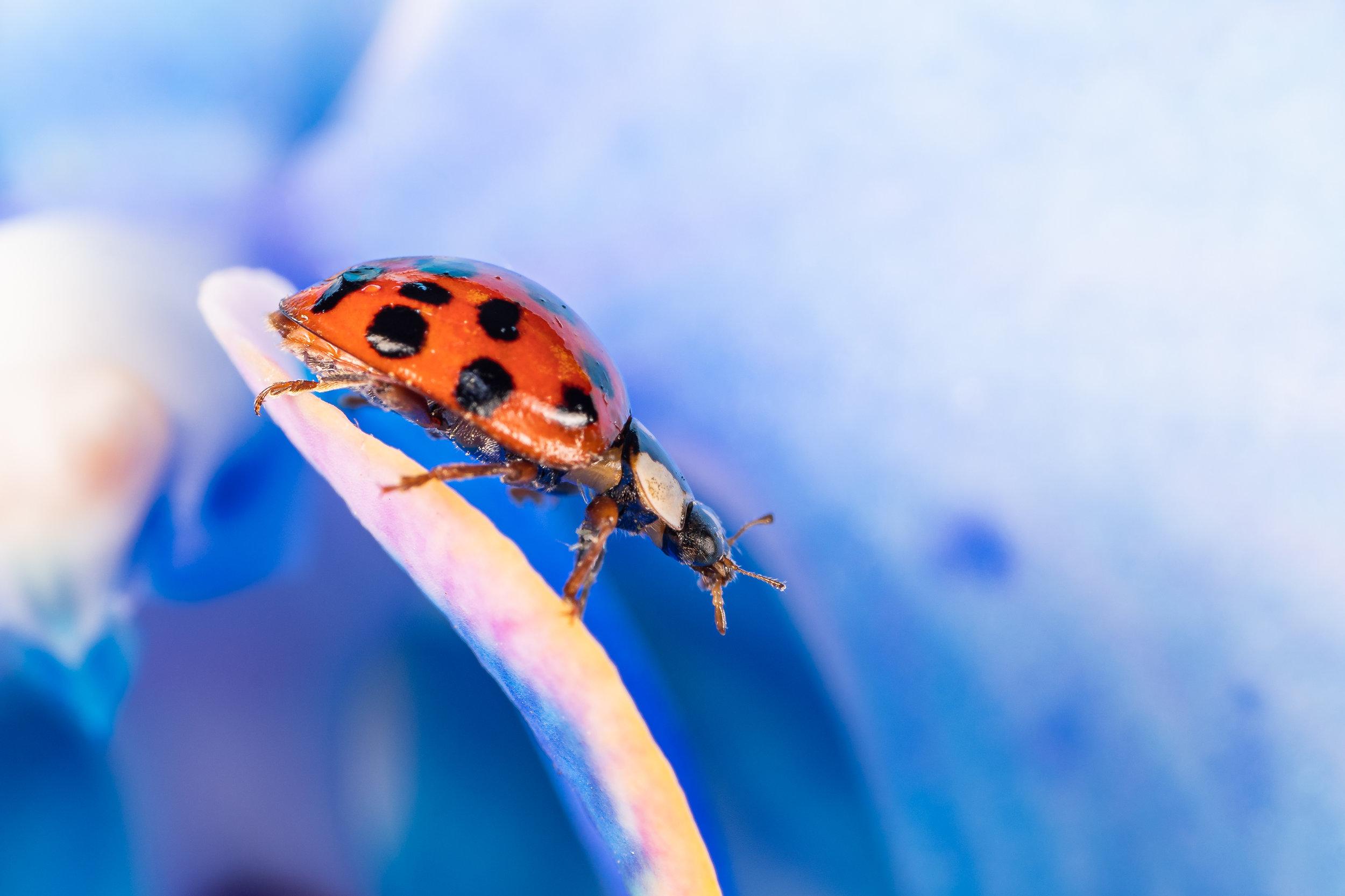 Ladybird beetle lady bug