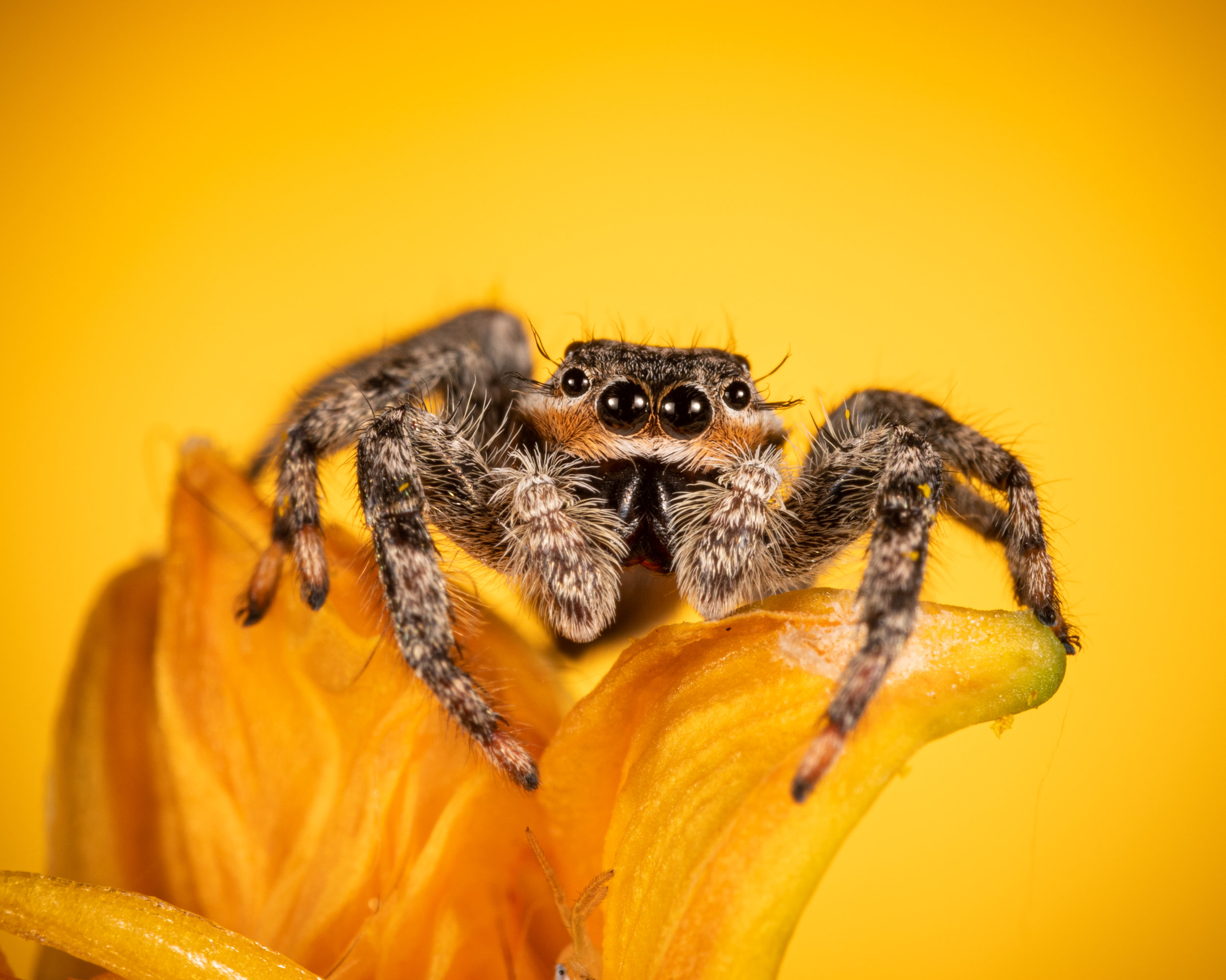 Tan Jumping Spider on daylily