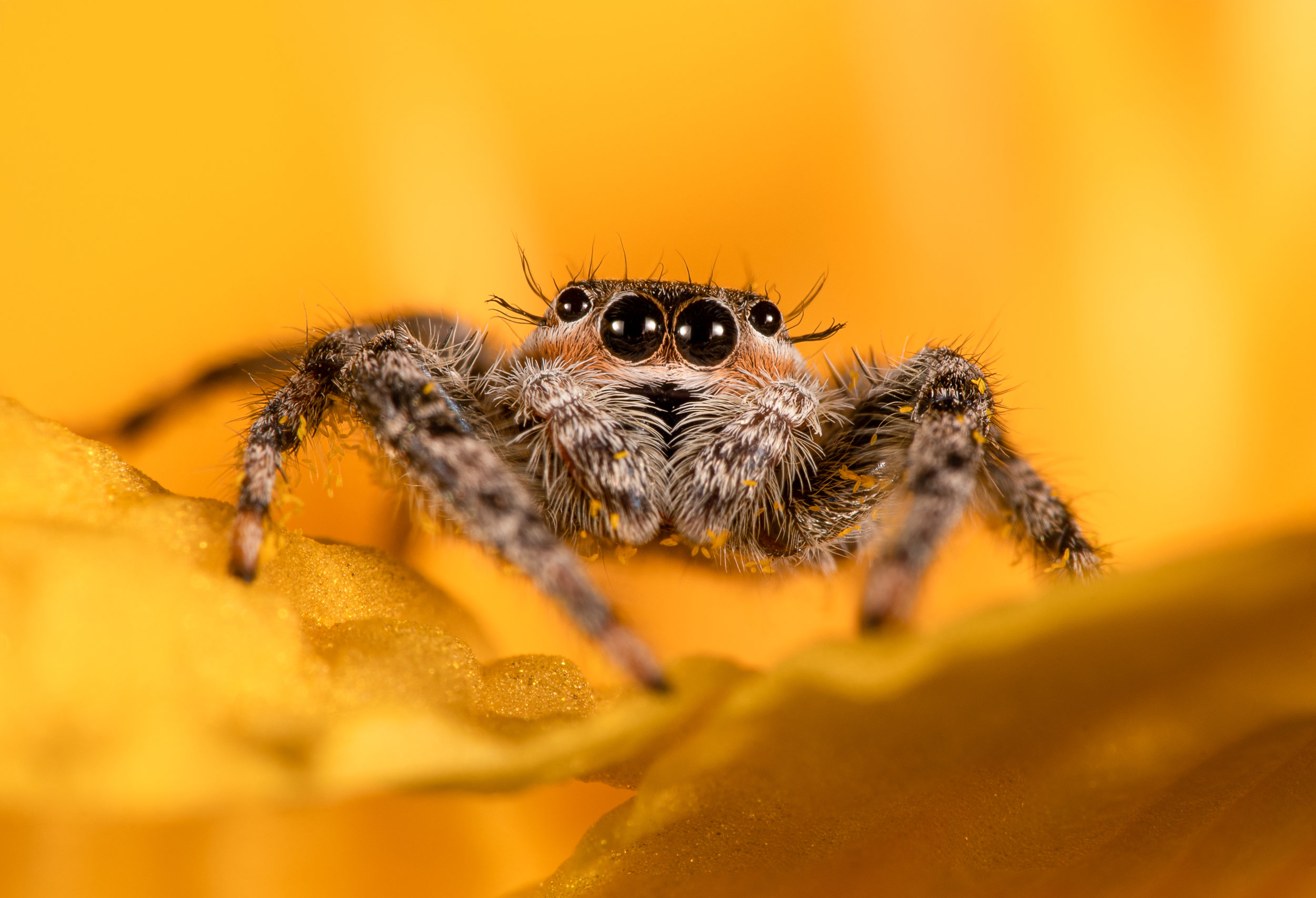 Tan Jumping Spider (2-image stack)