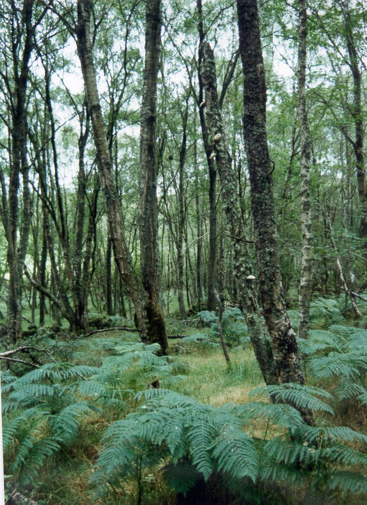 semi-natural ungrazed woodland, Mains of Auchattie, Banchory