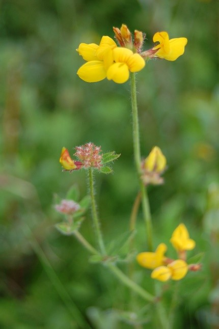 GREATER BIRD'S FOOT TREFOIL -  LOTUS PEDUNCULATUS  - IS A COMMON SPECIES IN GRAZED PLOTS