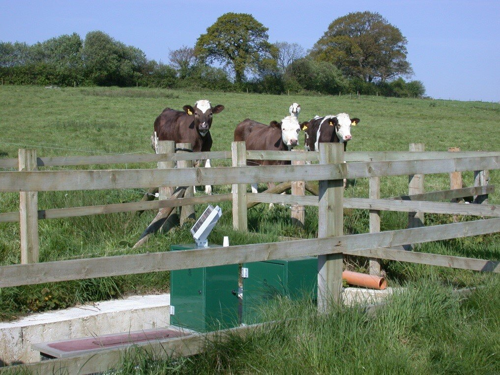 cattle on plots, with drainage weirs in foreground