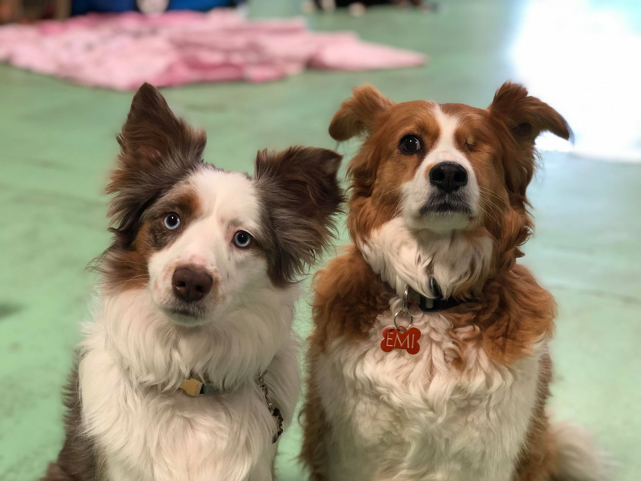 Two staff dogs, Beau (left) and Emi (right)