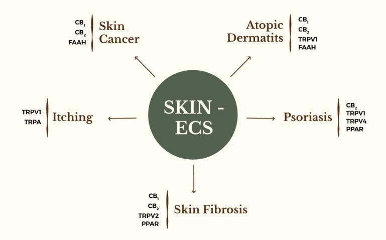 Skin's Endocannabinoids System