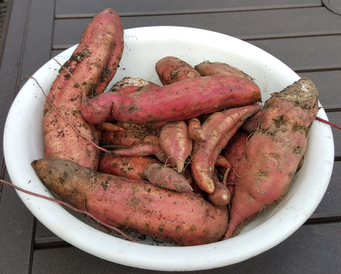 Do you want to feel like a five year old again? Grow and harvest sweet potatoes! This year I added two new garden beds to my main garden. I purchased sweet potato slips at Hansons Nursery in Rhinelander, WI   http://www.hansonsgardenvillage.com/   on a rare trip up north by myself. It was the first time I was without family, dogs or time constraints and I went a little garden shopping crazy. I loved it, every penny well spent, especially the milk weed plants.    Anyways, back to sweet potatoes. Unlike regular potatoes, with sweet potatoes you plant the slips which are the green shoots that grow off of sweet potatoes. Like other potatoes, it is usually best to use seed potatoes as they are grown to be free of disease. I bought a bunch of slips and to be honest, they looked like a dying bunch of herbs.    The instruction sheet told me not to worry what they looked like, but I still worried a little. I took the slips home and planted them approximately every 12 inches but I skipped the three foot row spacing as is suggested here   http://bonnieplants.com/growing/growing-sweet-potatoes/       I am glad I did as 30% of the plants did not live.     If you live in the Midwest you know that it was not an ideal summer for having a garden. We had early rain and then cool nights and a warm late summer. I installed a low hoop tunnel over the sweet potatoes early September to extend the season. I should have done that in August but did not get around to it. Sweet potatoes like it HOT and DRY.    Yesterday I went out to harvest seeing that cool days are coming next week. I cut off the vines and then dug in with my pitch fork to not break up any potatoes and there they were. AMAZING! It was exciting every time that I found one. Christmas in September for gardenRN!    Next summer I am going to start a lot earlier and put up the tunnel early season to heat up the soil. I can't wait!