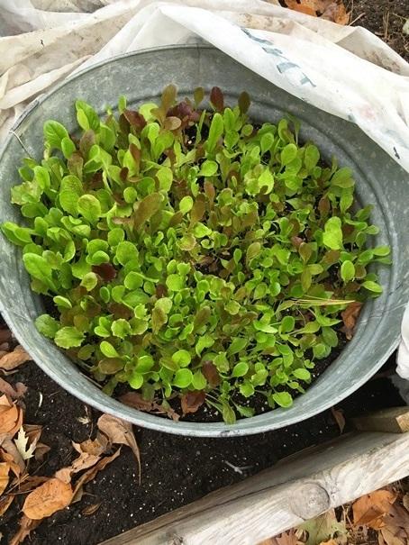 Fall Lettuce Mix