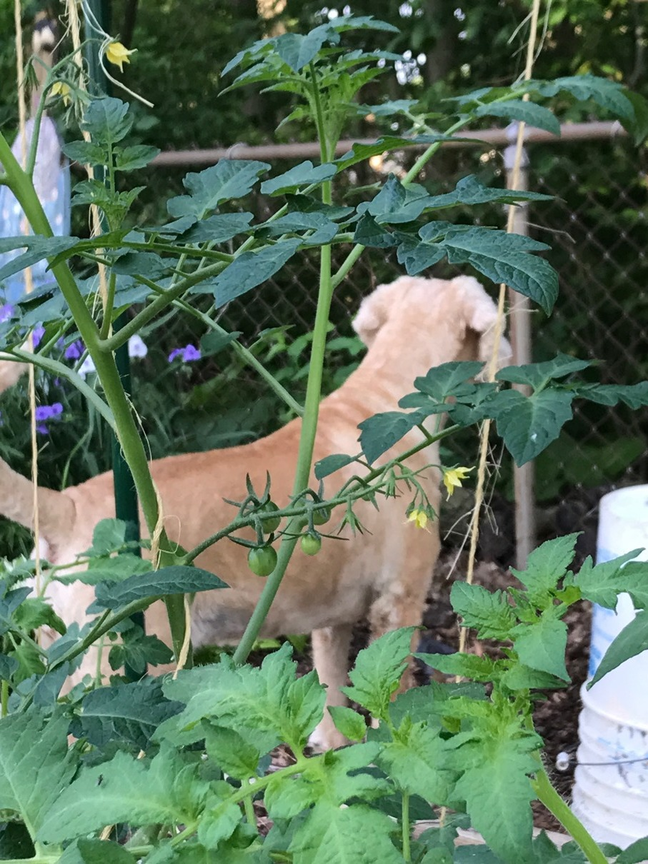 Tomato plant (and Lady)