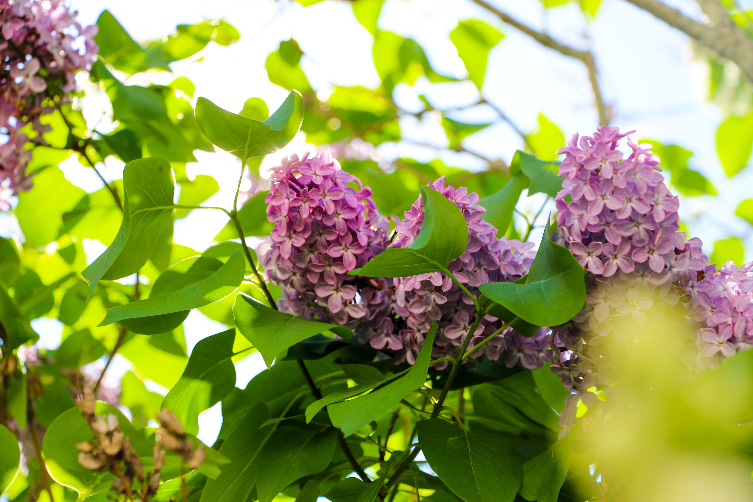 and more lilacs...because...well...they're lilacs!!!  :)