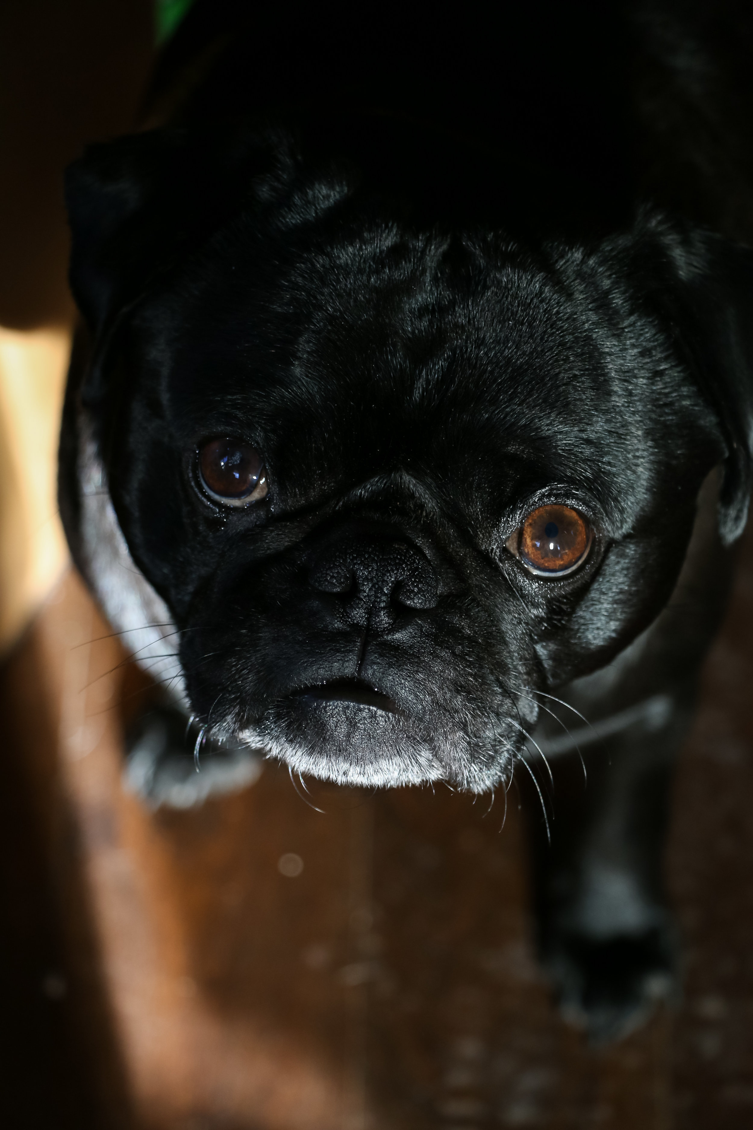 here's a cute pug to start the bombardment off right....