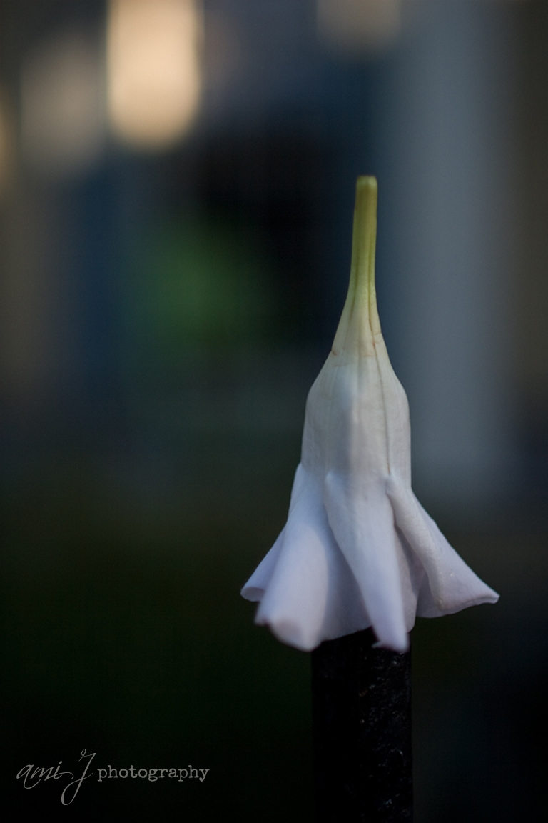 ami petal.jpg