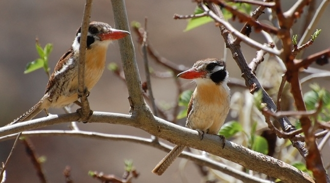 A pair of White-eared Puffbirds,  Nystalus chacuru , in the Apurímac River valley of Peru.  Photo by Natalie Wright .