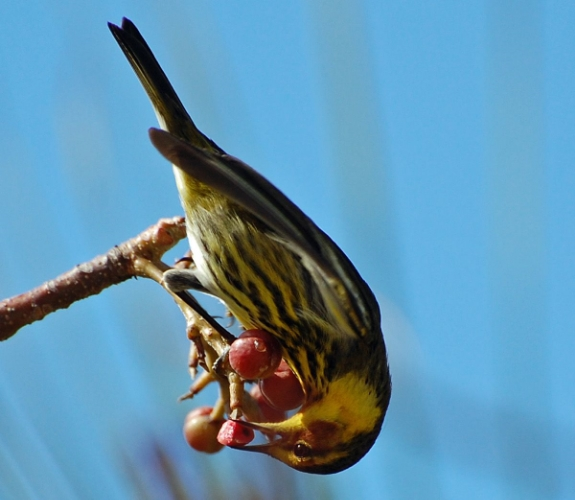 A Cape May Warbler fuels up for spring migration in the Bahamas.  Photo by Natalie Wright .