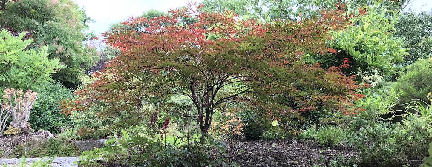 Acer Cornwall Gardener Horticulturist Truro Juniper Gardens