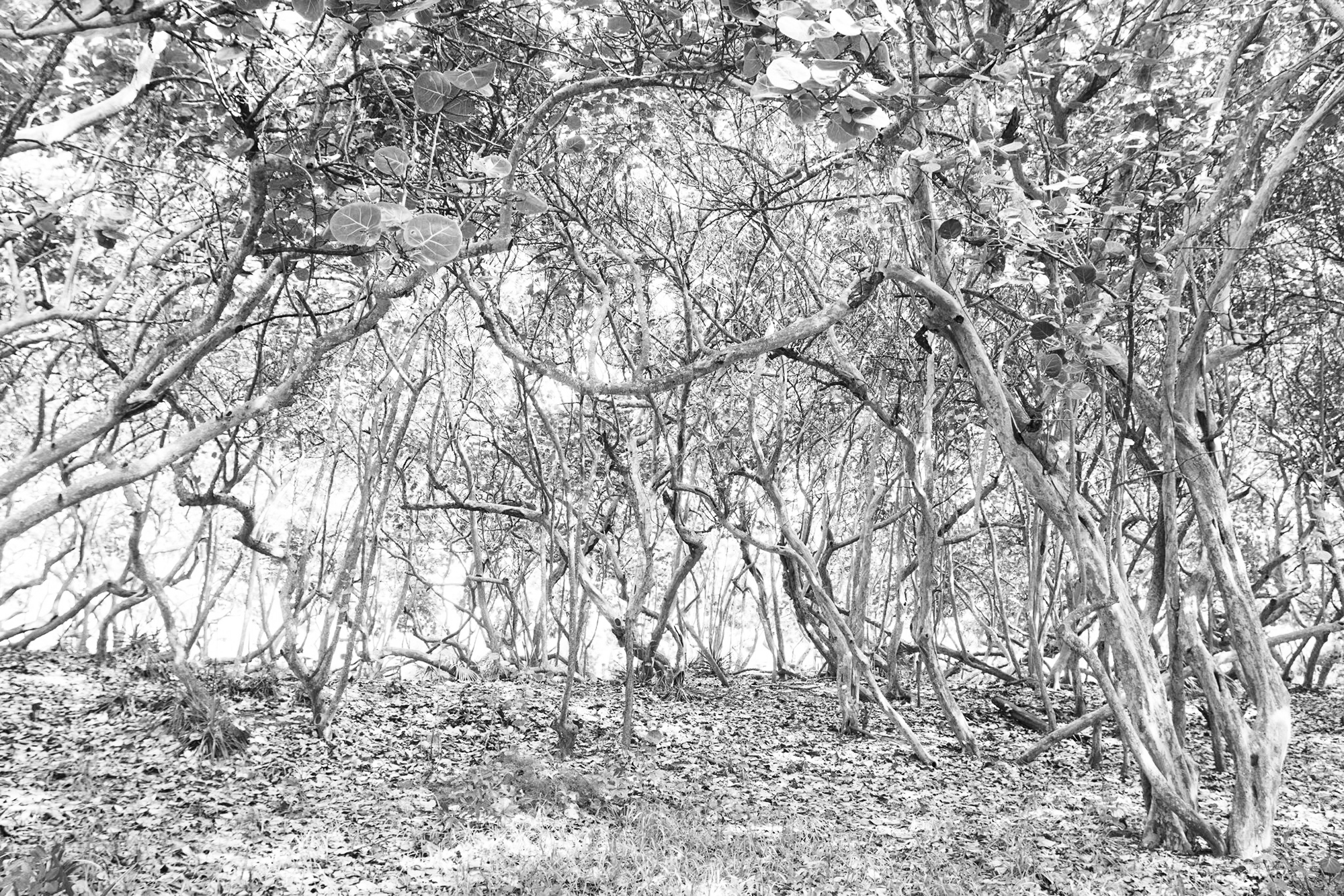 MANGROVES 1, 2017   ARCHIVAL PIGMENT PRINT ON COTTON RAG PAPER FRAMED DATED AND SIGNED ON VERSO  SIZES 45 X 30 INCHES 36 X 24 INCHES