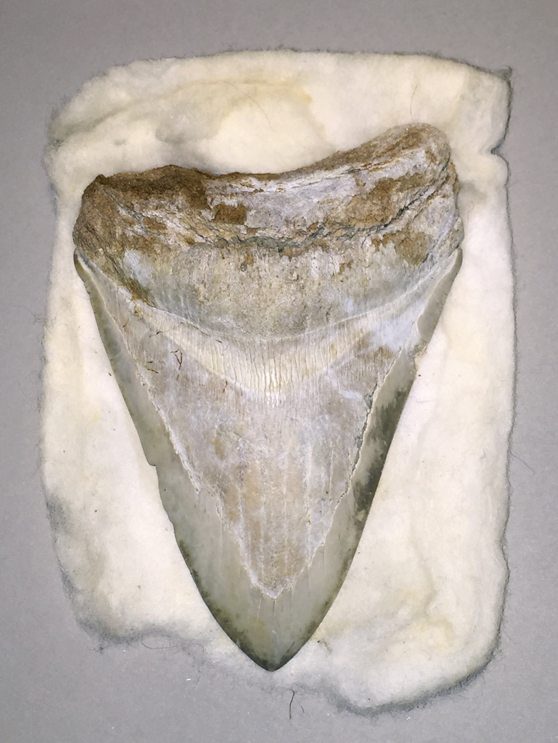 Fossilised megalodon tooth (Great White Shark)