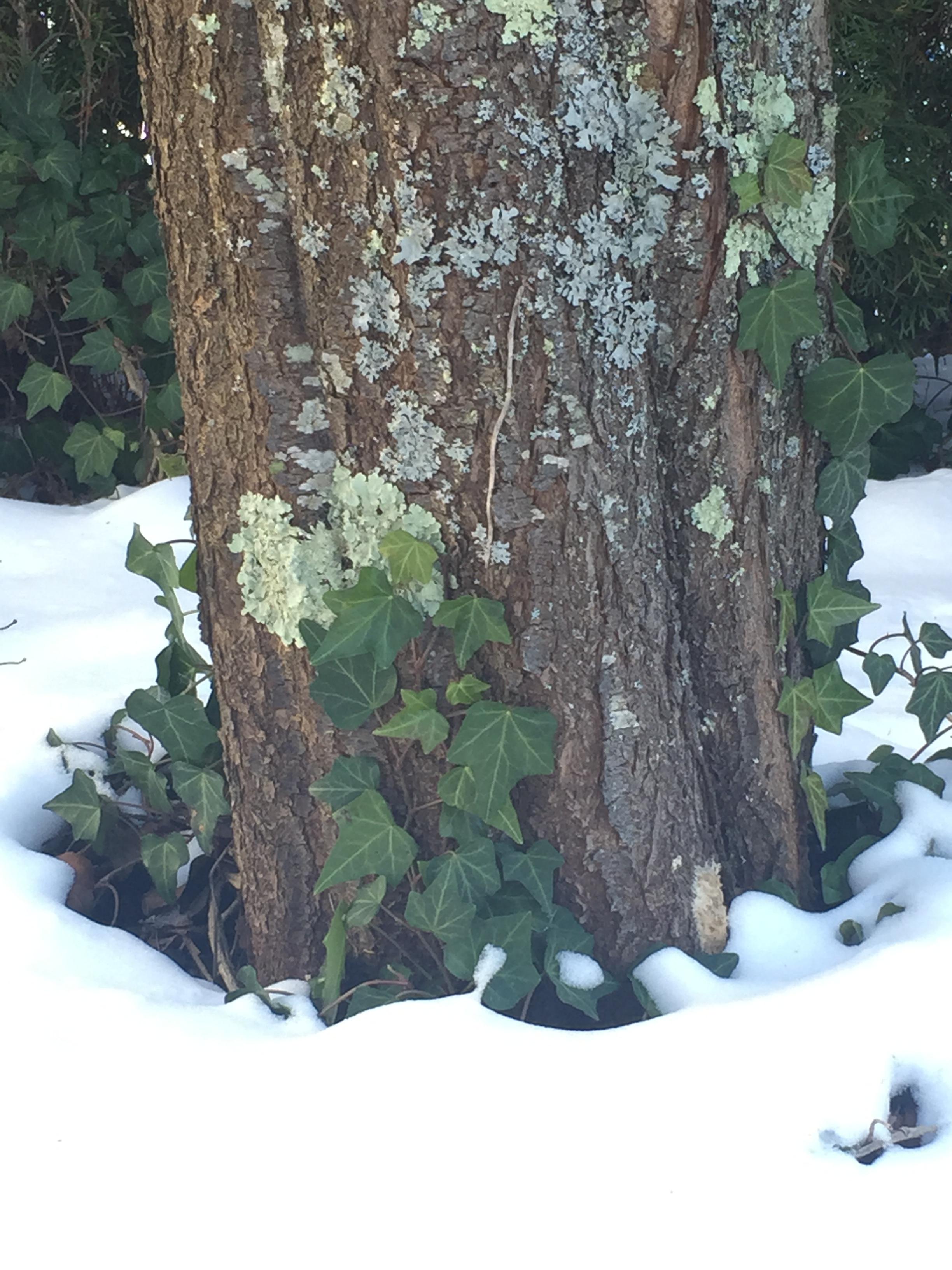 ivy and snow.JPG