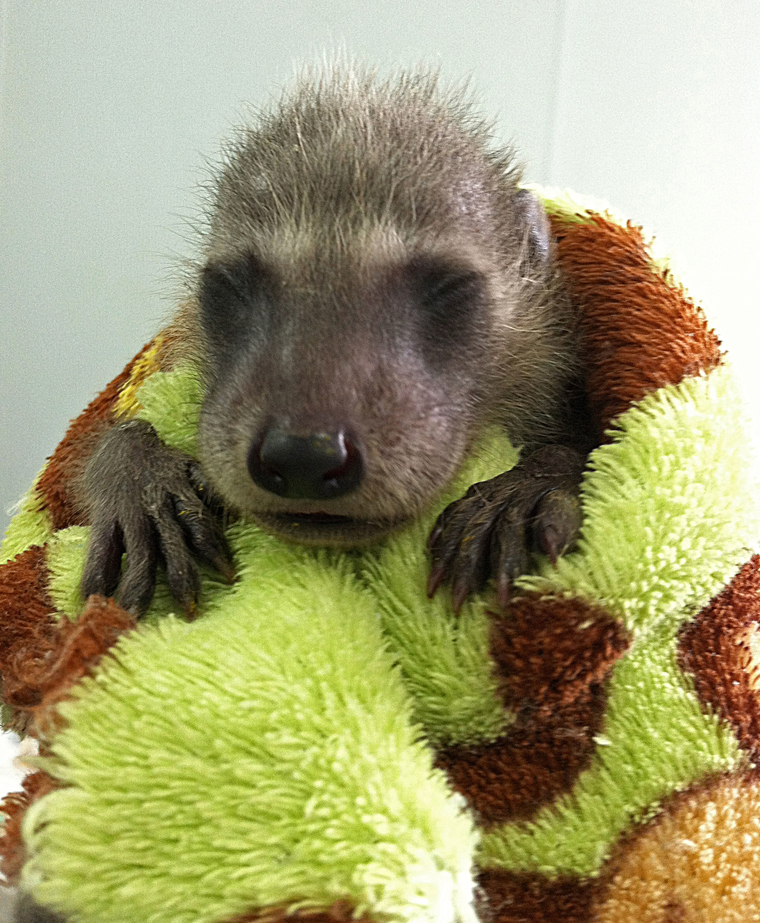 Elephaba baby raccoon