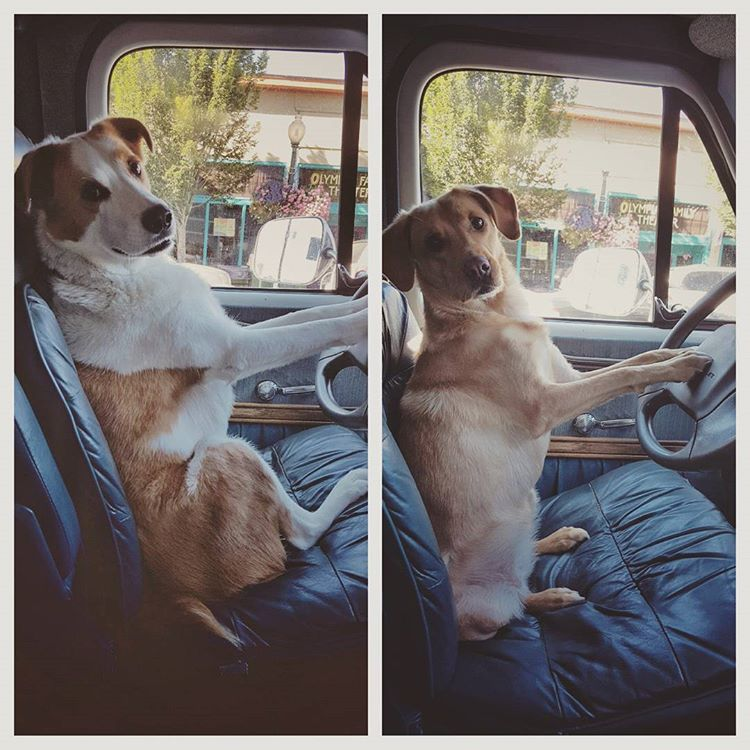 "My two wonderful, clever, ""driving"" dogs, Gershwin & Sukha!"