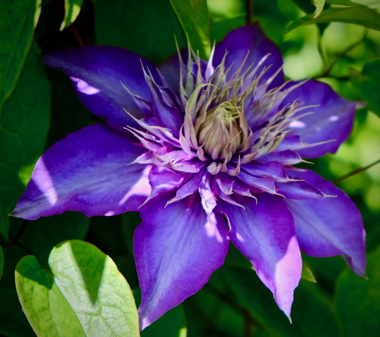 Clematis in our garden!