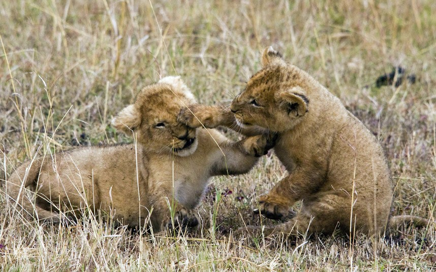 Image from http://i.telegraph.co.uk/multimedia/archive/02357/lion-cubs- fighting_2357300k.jpg