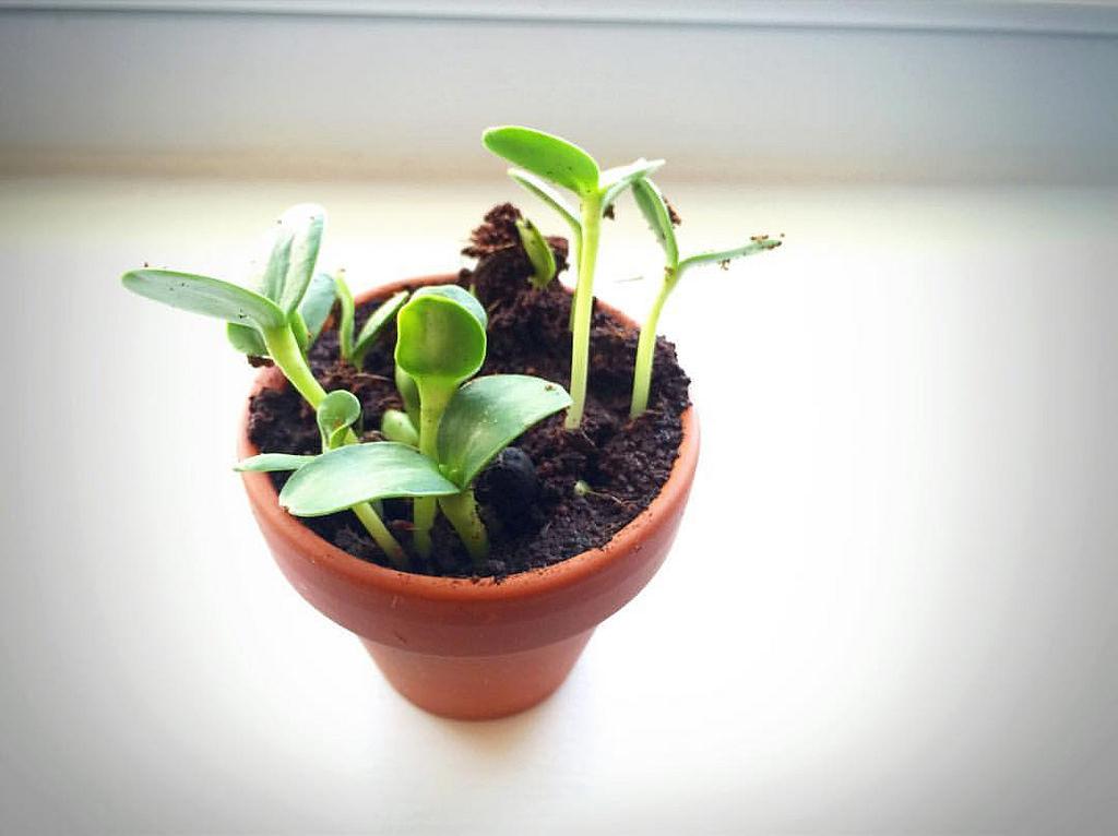 seedlingsinsmallpot.jpg