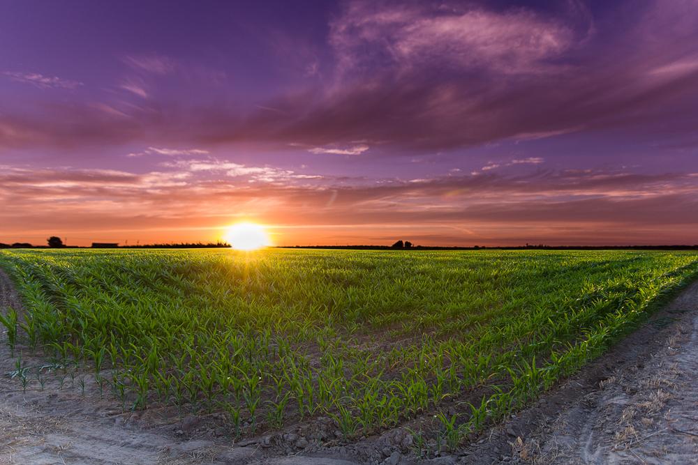 Corn_field Kent_Gresham_01.jpg