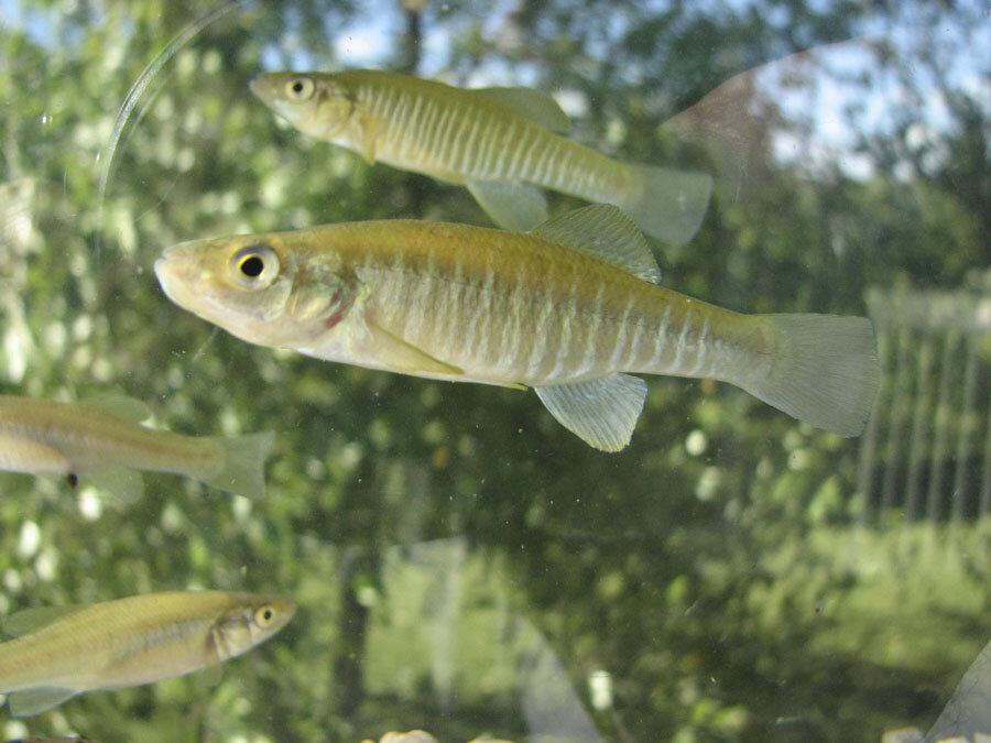 Banded Kilifish, native fish to Michigan.  Photo by Ken Zeedyk
