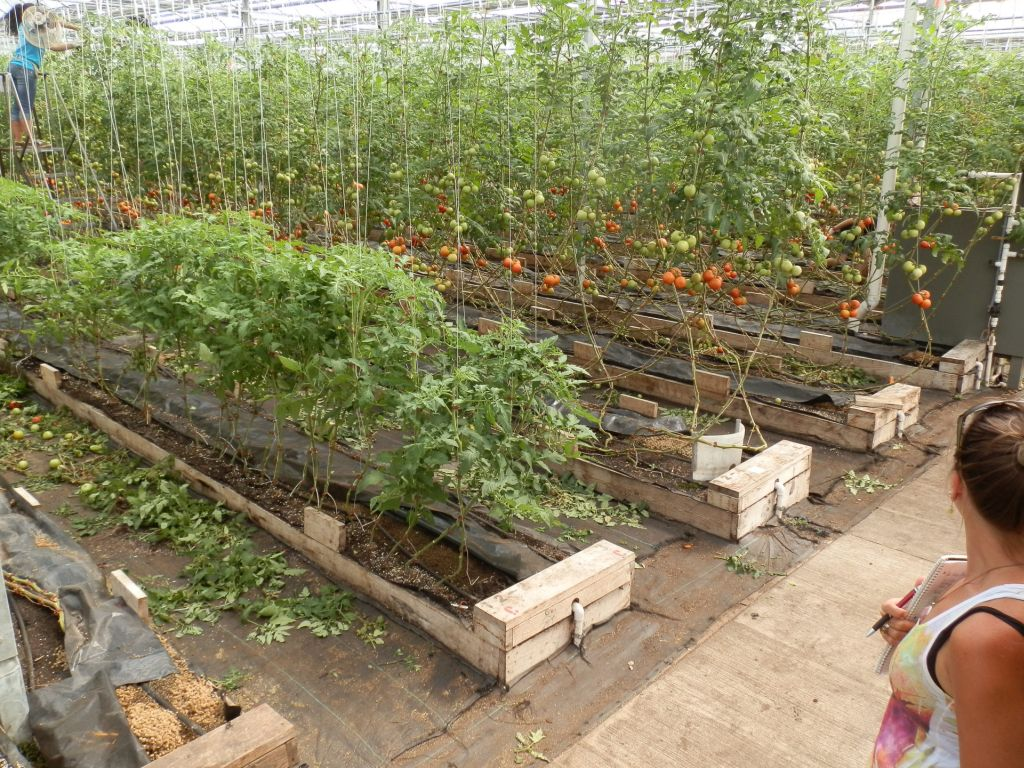Tomato leaves collect in piles as a student workerbattles Blight