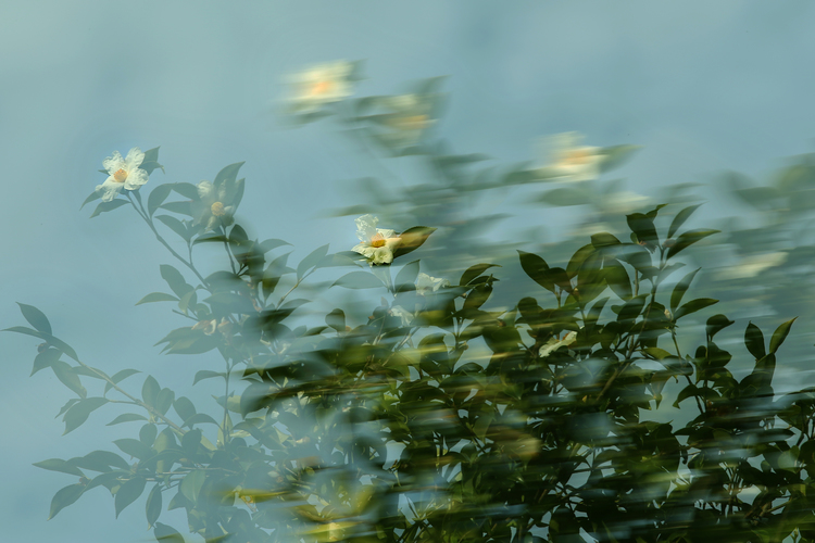 Camellia Oil Shancha