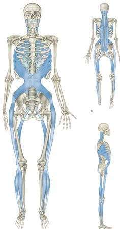 Image from Thomas W. Myers' book, Anatomy Trains.  http://www.anatomytrains.com