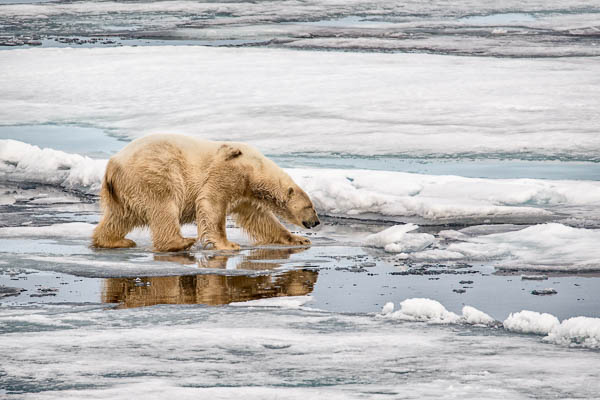 Polar Bear on the pack ice, North East of Svalbard.