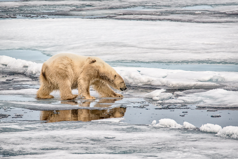 BEAR ON THIN ICE_MDS7035-2.jpg