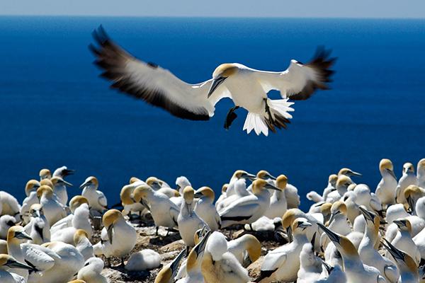 Gannet landing by Michael Smyth