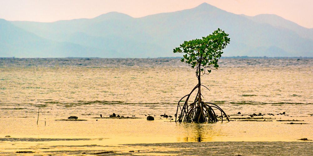 Pioneer, Spider Mangrove at Orpheus Island (c) Michael Smyth 2016